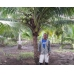 Jose del Carmen  - Jose�s cultivation of coconut